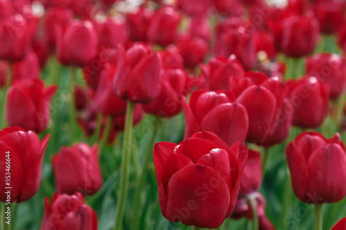Red-burgundy tulips in the flowerbed - 353466644