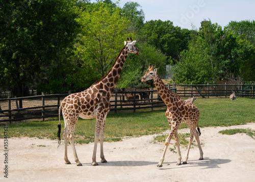 Giraffes are waiting for food. Wallpaper Mural