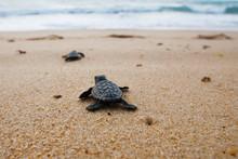 Hatchling Baby Loggerhead Sea Turtle (caretta Caretta) Crawling  To The Sea After Leaving The Nest At The Beach Praia Do Forte, Bahia Coast, Brazil, On  The Sand, Top View