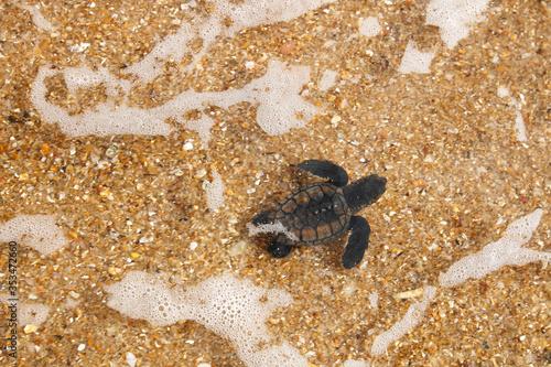 Fototapeta Hatchling baby hawksbill sea turtle (Eretmochelys imbricata) entering the sea af