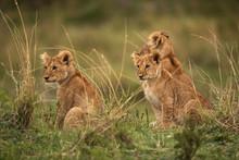 Lion Cubs In The Savannah Duri...
