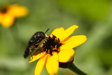 Black Beetle Standing On A Yellow Flower
