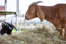 The Domestic Goat Or Simply Goat Is A Subspecies Of C. Aegagrus Domesticated From The Wild Goat Of Southwest Asia And Eastern Europe. The Goat Is A Member Of The Animal Family Bovidae And The Subfamil