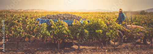 Fotografia grape harvest, vineyards and tractor with farmer full of harvested grapes