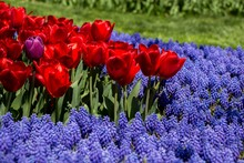 Red Tulips With Purple Grape Hyacinth Flowers In A Garden