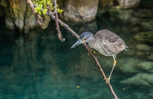 Striated Green Heron Fishing From Shore
