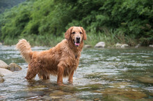 Golden Retriever Playing In Th...