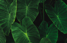 Green Leaves Of Elephant Ear In Jungle. Green Leaf Texture With Minimal Pattern. Green Leaves In Tropical Forest. Botanical Garden. Greenery Wallpaper For Spa Or Mental Health And Mind Therapy.