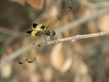Yellow-barred Flutterer ( Rhyothemis Phyllis ) Dragonfly With Brown Pattern On The Side Of The Body , Predator Insects On Branch With Brown  Background , Yellow And Black Pattern On Wing