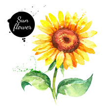 Hand Drawn Watercolor Sunflower Illustration. Vector Painted Sketch Botanical Herbs Isolated On White Background