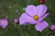 Galsang Flowers On Qilian Moun...