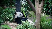 Panda Snacking On Some Bamboo