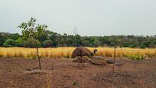 Emus In Grasslands At Werribee Zoo