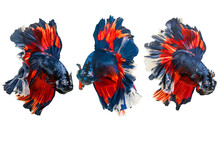 Siamese Fighting Fish.Multi Co...