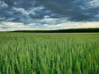 canvas print picture - Weizenfeld mit dramatischen Wolken