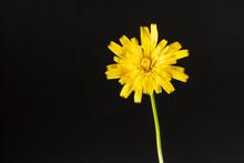 Flower Of False Dandelion Hypo...