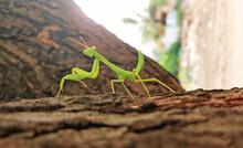 Praying Mantis Giving Pose By ...