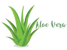 Fresh Aloe Vera Plant Isolated...