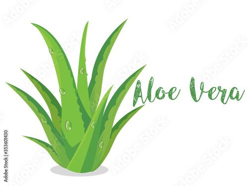 Fotografiet Fresh aloe vera plant isolated on white background, health care concept