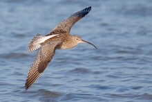 Closeup Of A Curlew Bird Soaring Over The Sea