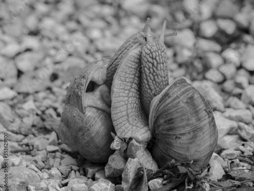 Photo Escargots amoureux