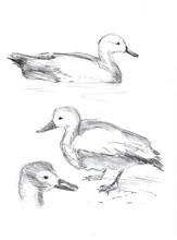 Sketch Of Different Heads Of Birds, Ducks, Charcoal