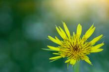 Tragopogon.Tragopogon Flower K...