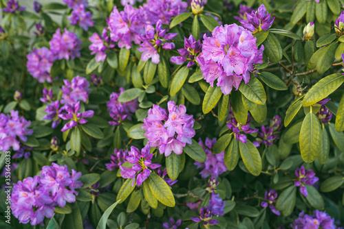 Image of spring violet flowers on green bush.