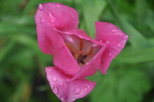 Rain Drops On Pink Flower