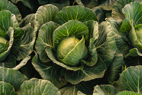 Green cabbage head closeup in nature on field. Wallpaper Mural