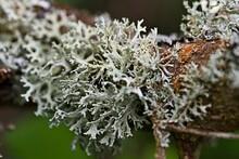 Lichen Growing On A Branch