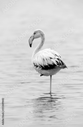 Greater Flamingo, exposure bias monchrome image Wallpaper Mural