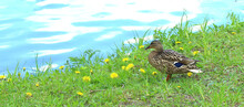 Beautiful Wild Duck That Sits ...