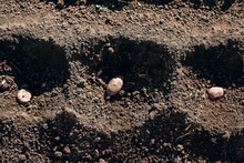 Wells In The Ground With Potato Seeds
