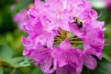 Bumble Bee Pollinating A Purple Rhododendron