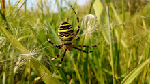 Argiope Aurantia Spider Weaving A Web In The Grass