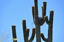 Blooming Saguaro Cactus With N...