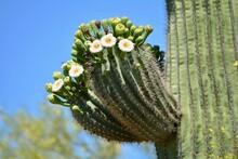 Blooming Saguaro Cactus Sonora...