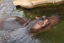 Close Up Of A Hippo Head On Wa...