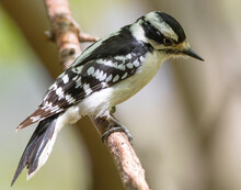 Female Downy Woodpecker Perche...