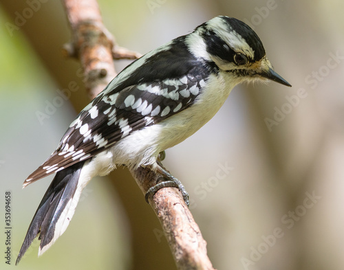 Female downy woodpecker perched on a bare branch with distant stare Canvas Print