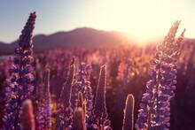 Lupinen Feld In Neuseeland - L...