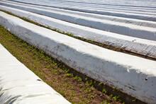 Spargel Wächst Auf Einem Feld Unter Plastikfolien.