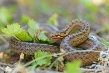 Smooth Snake - Coronella Austriaca  Species Of Non-venomous Brown Snake In The Family Colubridae. The Species Is Found In Northern And Central Europe, But Also As Far East As Northern Iran