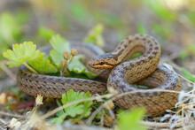 Smooth Snake - Coronella Austr...