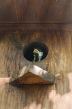 A Chick Of A Great Tit Looks Out From A Bird House Hanging On A Tree In The Garden. Selective Focus