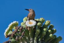 Woodpecker In Saguaro Cactus