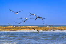 Group Of Seagulls, Punta Del Este, Uruguay