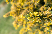 Gorse Or Ulex Is A Genus Of Flowering Plants In The Family Fabaceae. The Genus Comprises About 20 Species Of Thorny Evergreen Shrubs In The Subfamily Faboideae Of The Pea Family Fabaceae.