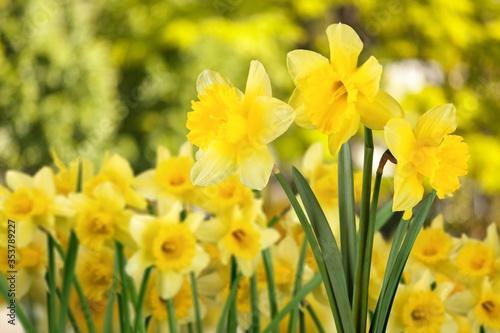 Fotografie, Tablou Daffodil.